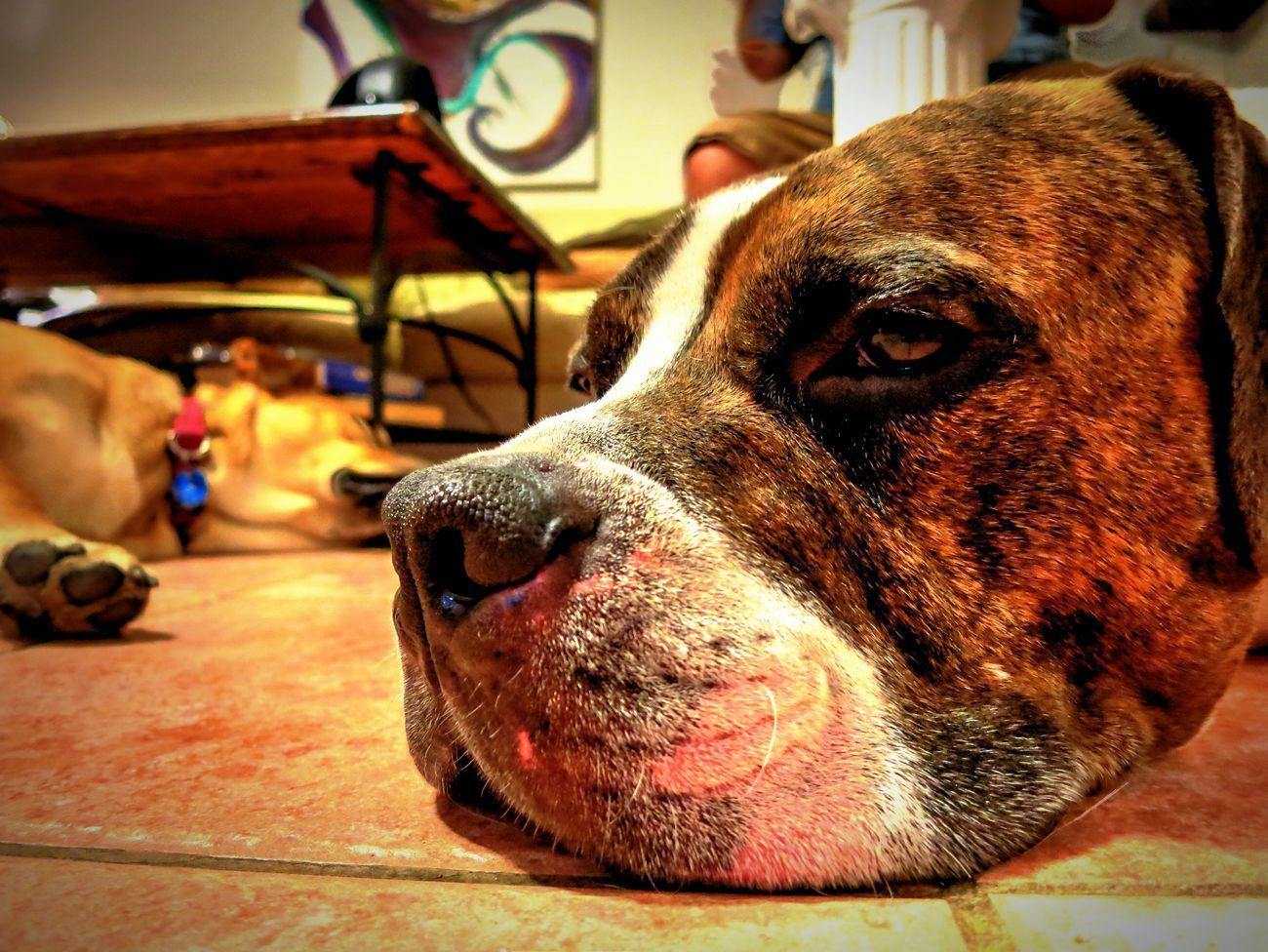Everyday Joy Dogs Pitbulls Cute Pets Cute Sleeping Buster Sleepyhead Pets