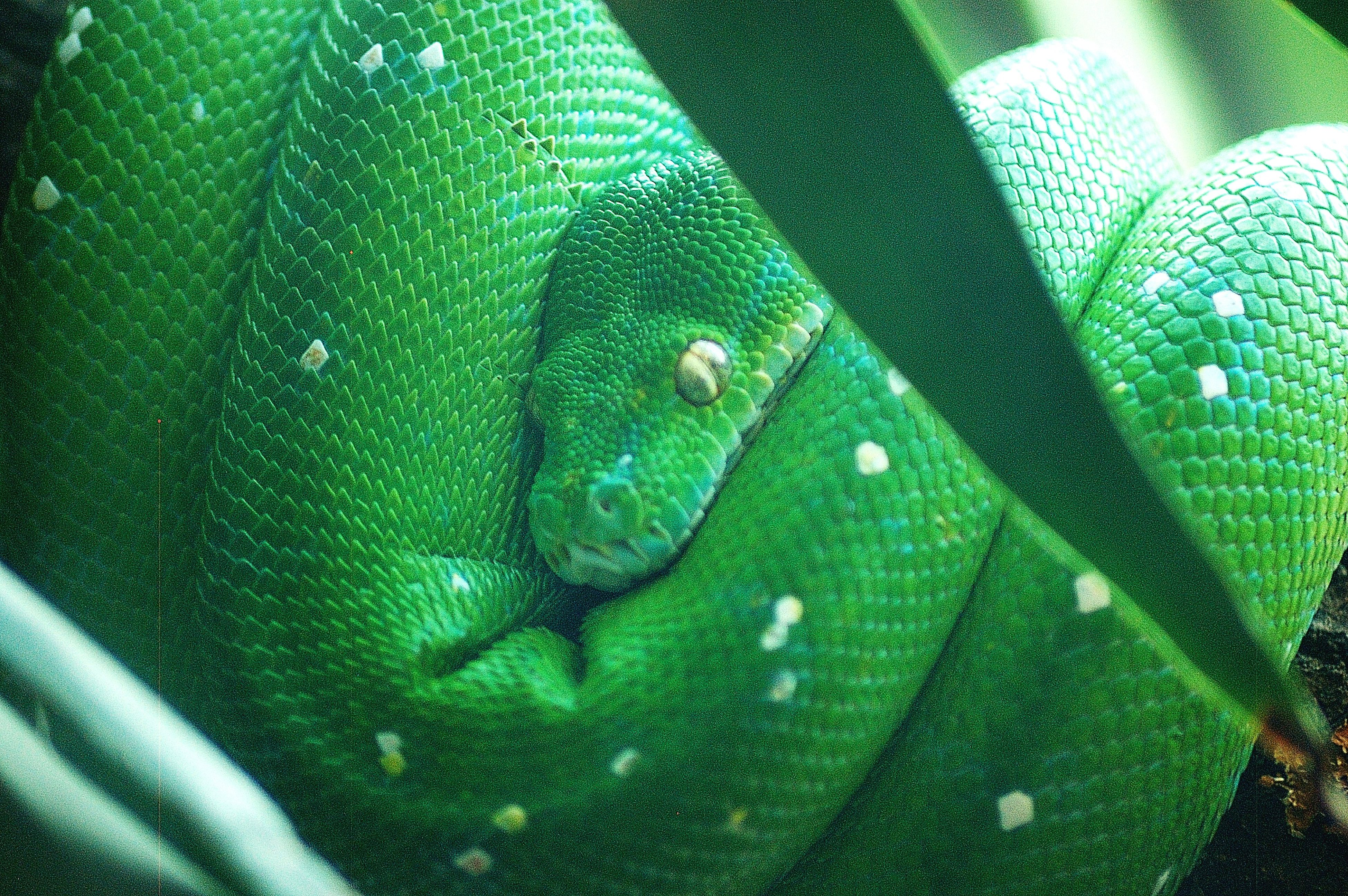 Close-Up Of Green Tree Snake Resting On Tree In Zoo