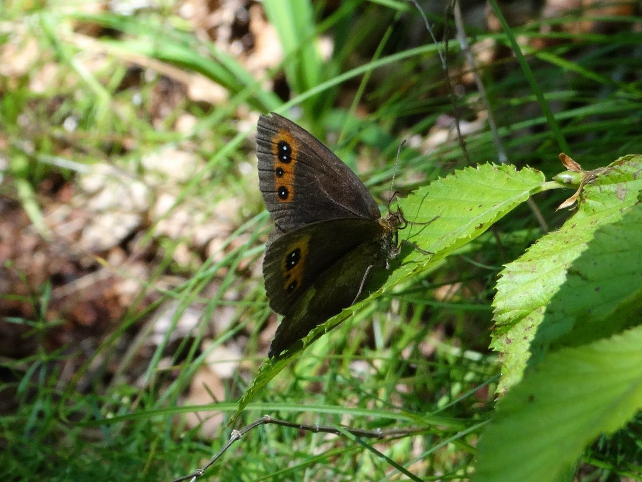 Animals In The Wild Arran Brown Nature Scotch Argus Butterfly Sunlight Animal Animal Themes Animal Wildlife Animals In The Wild Beauty In Nature Butterfly Butterfly - Insect Close-up Day Green Color Growth Insect Leaf Nature No People One Animal Outdoors Perching Plant Satyrinae