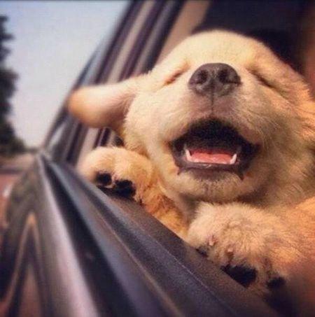 Goldenretriever Cute Pets Puppy Dog