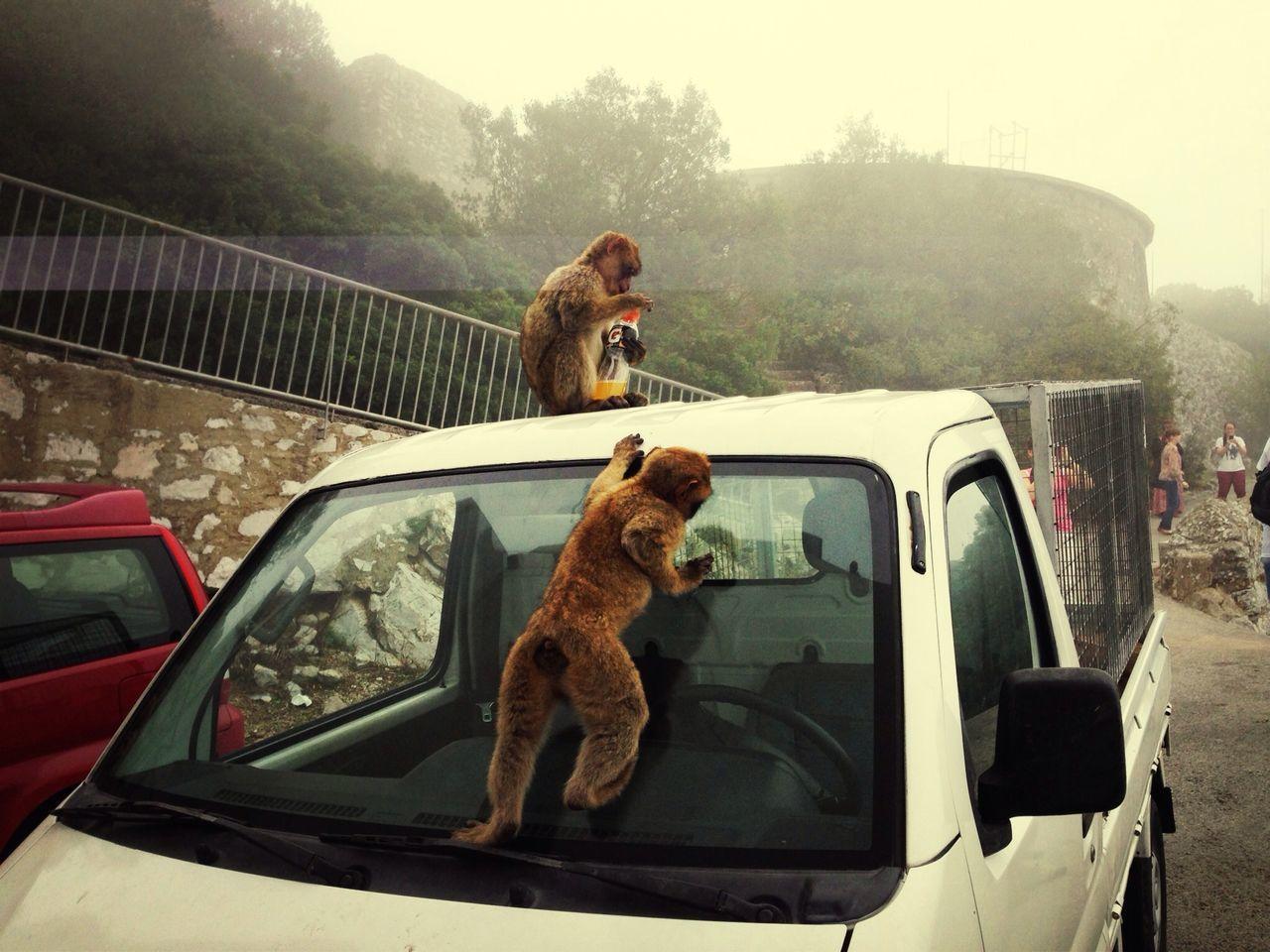 Monkeys Climbing On Pick-Up Truck