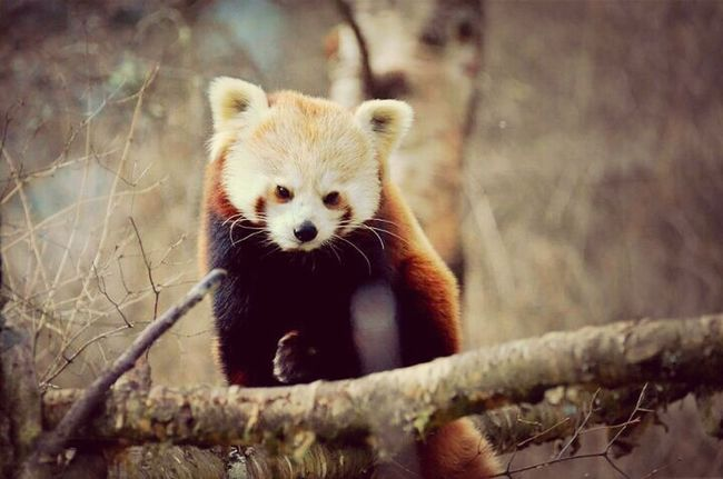 Red Panda Highland Wildlife Park