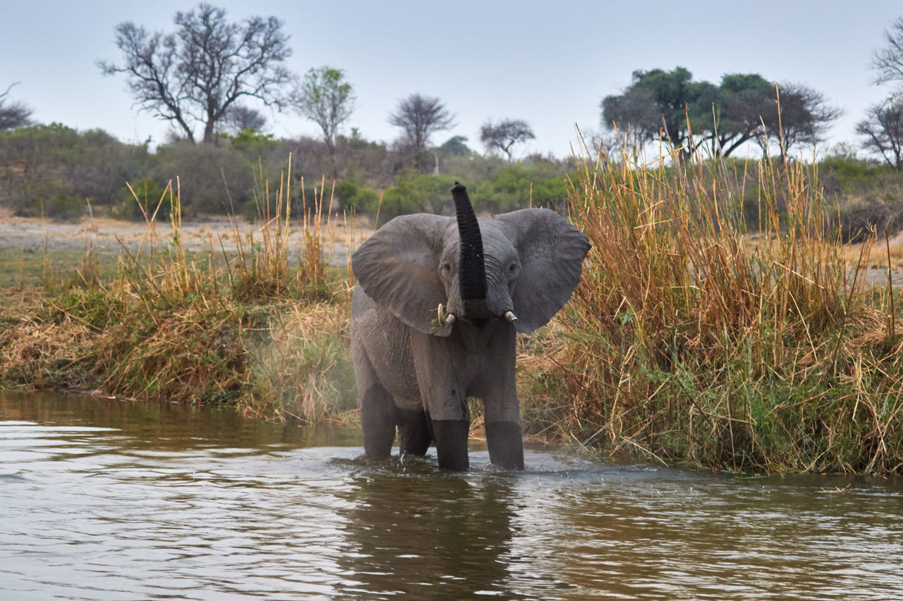 Elephant taking a bath African Elephant Animal Body Part Animal Wildlife Animals In The Wild Bathing Day Elephant Low Section Men Nature Outdoors Outdoors Photograpghy  People River Riverside Sky Tree Trunk Tusk Tusks Water Wild Wildlife Wildlife & Nature Wildlife Photography