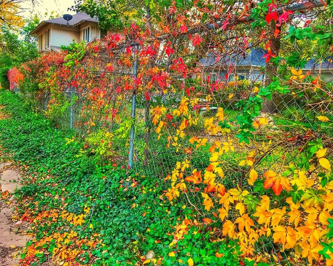 """""""Autumn Fence"""" A chainlink fence on a backstreet of Roswell, New Mexico, is adorned in beautiful Autumn frock. Multi Colored Newmexico Newmexicophotography Fence Chainlink Fence Autumn Autumn Colors Autumn Leaves Autumn Collection Color Fall Fall Beauty Fall Colors Fall Leaves Street"""