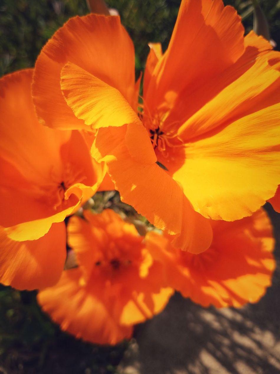 California Poppy Orange Color Nature Flower Beauty In Nature Close-up Growth Stamen Pollen Fragility Freshness Flower Head EyeEm Nature Lover EyeEm Best Shots EyeEm Gallery EyeEmBestPics EyeEm Best Shots - Nature EyeEm Flowers Collection EyeEm Flower