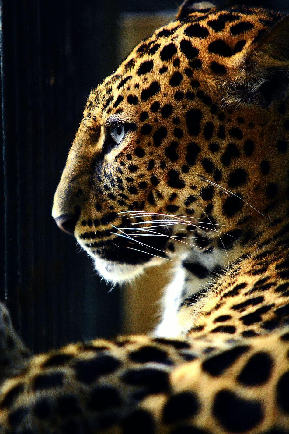 Beautiful stock photos of jaguar, Animal Markings, Animal Themes, Animals In Captivity, Animals In The Wild