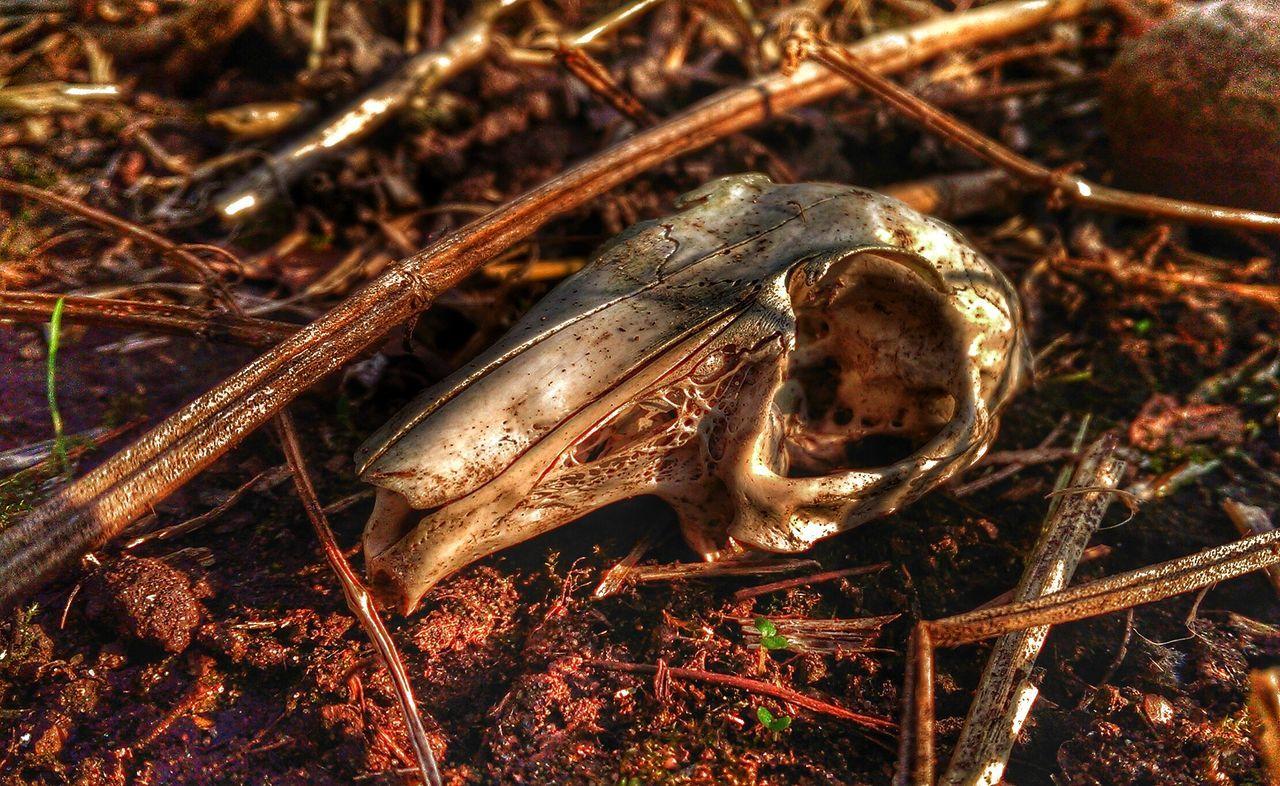 Bright eyes no more.... Taking Photos Skull Rabbit Skull Death HDR Editing Rabbits 🐇 Soft Grunge Skullporn Skulls♥ Bone