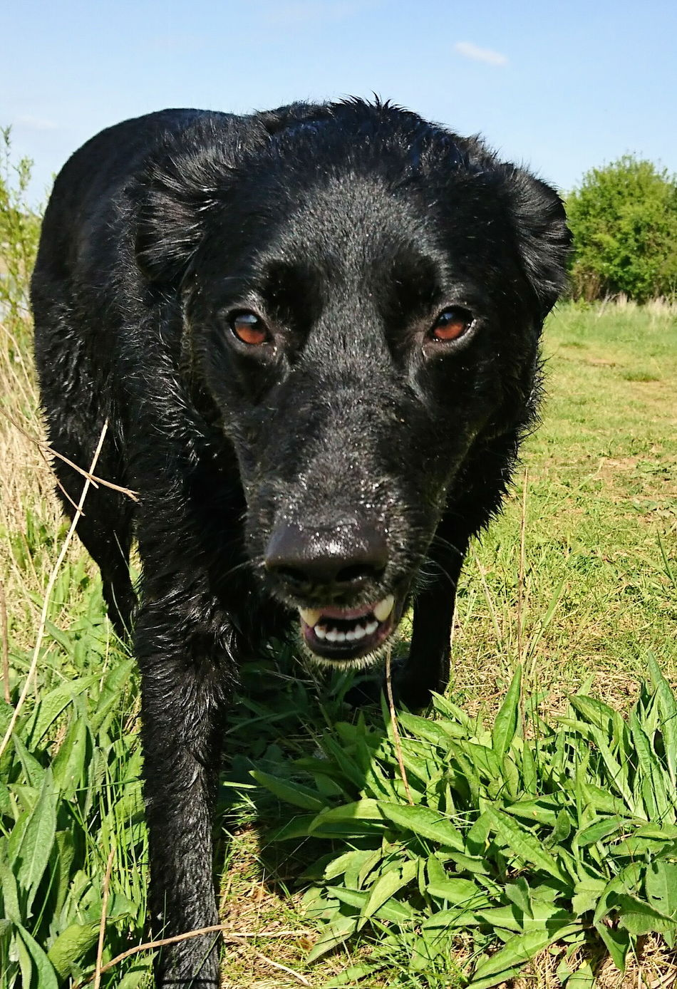 Dog One Animal Looking At Camera Pets Domestic Animals Mammal Animal Themes Black Color Dogsareawesome Dog Photography Dog❤ Dogs_of_instagram Canine Love :) Dogs Of EyeEm Dogslife Dog Love DogLove Dog Walking Outdoors No People