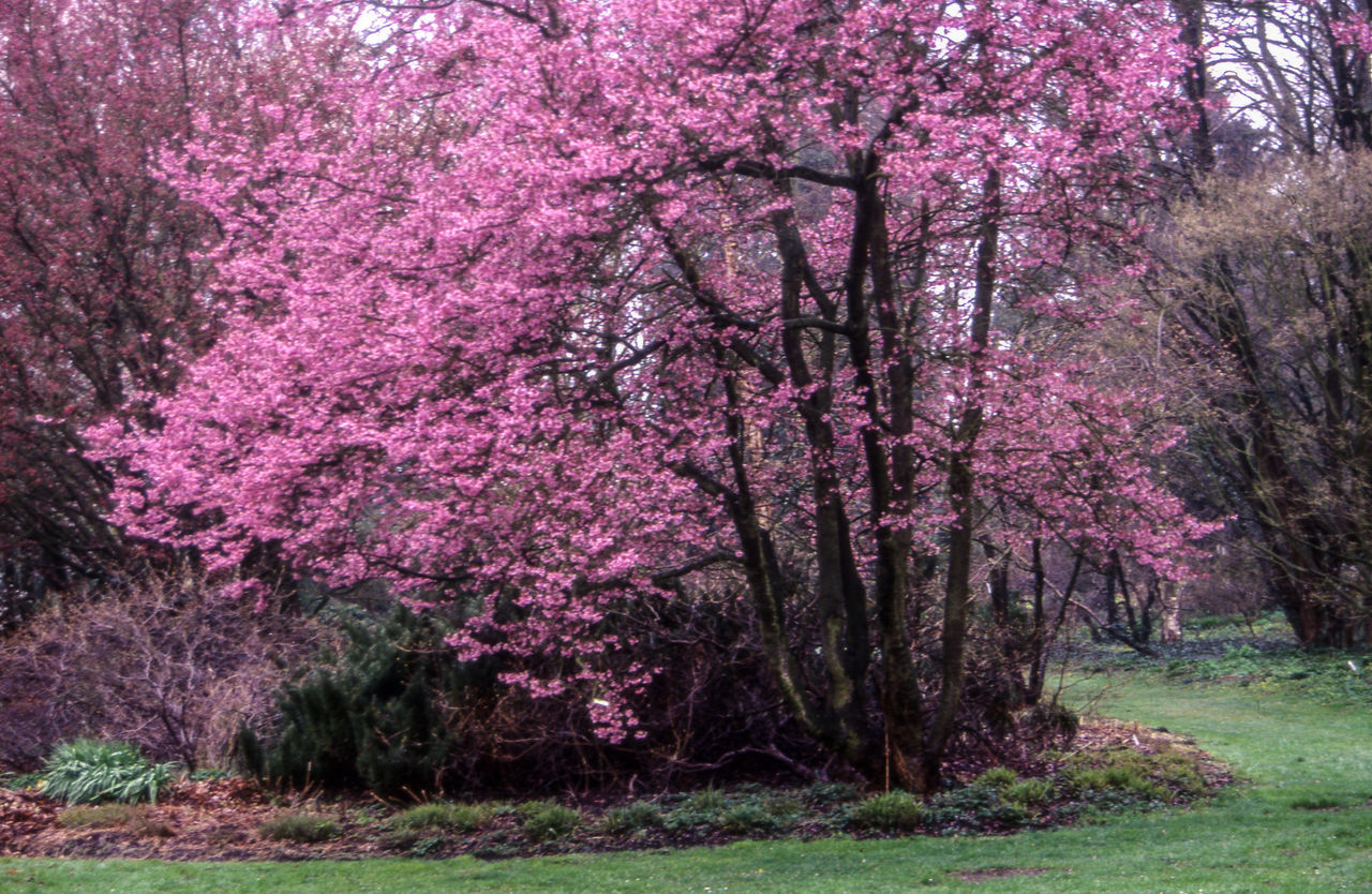 tree, flower, blossom, pink color, springtime, nature, growth, beauty in nature, no people, grass, day, scenics, fragility, outdoors, freshness