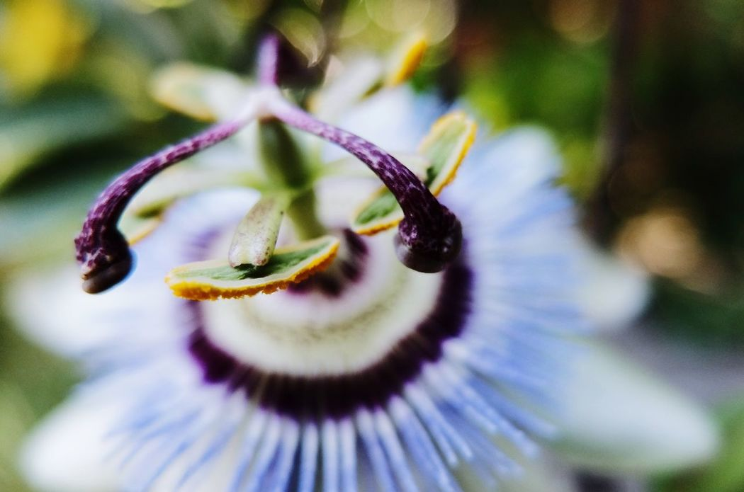 Passion flower Passiflora Caerulea Passiflore Passion Flower Bokeh Shallow Depth Of Field Flower Macro Photography Fujifilm_xseries Fujifilm X30 Fujifilm