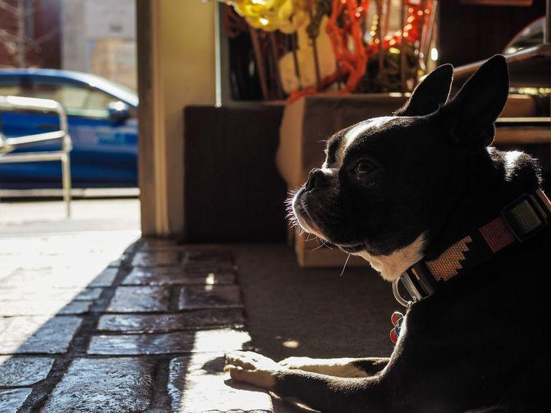 Henry French Bulldog Street Streetphotography Olympus Pen-f Dog Animal