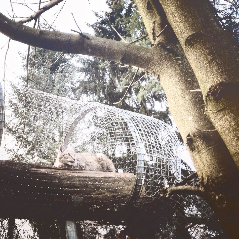 Animals Lynx Cat
