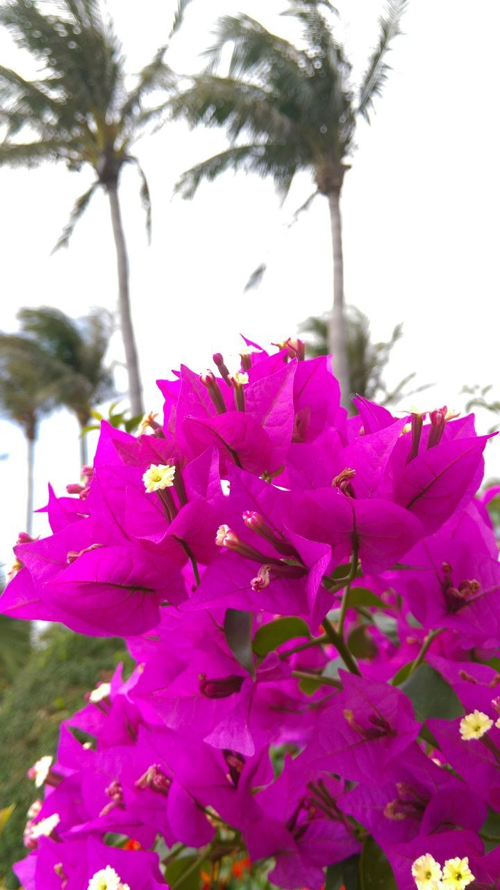 Bougainvillea Blooming Outdoors