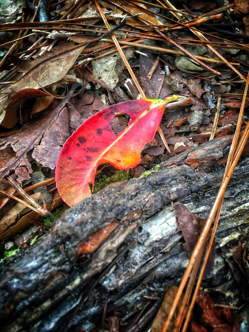 leaf, change, autumn, dry, nature, day, outdoors, no people, beauty in nature, maple leaf, red, close-up, maple, fragility