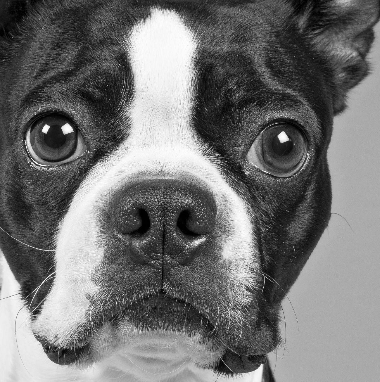 My grand puppy Chloe Bostonterrier Pup PuppyLove