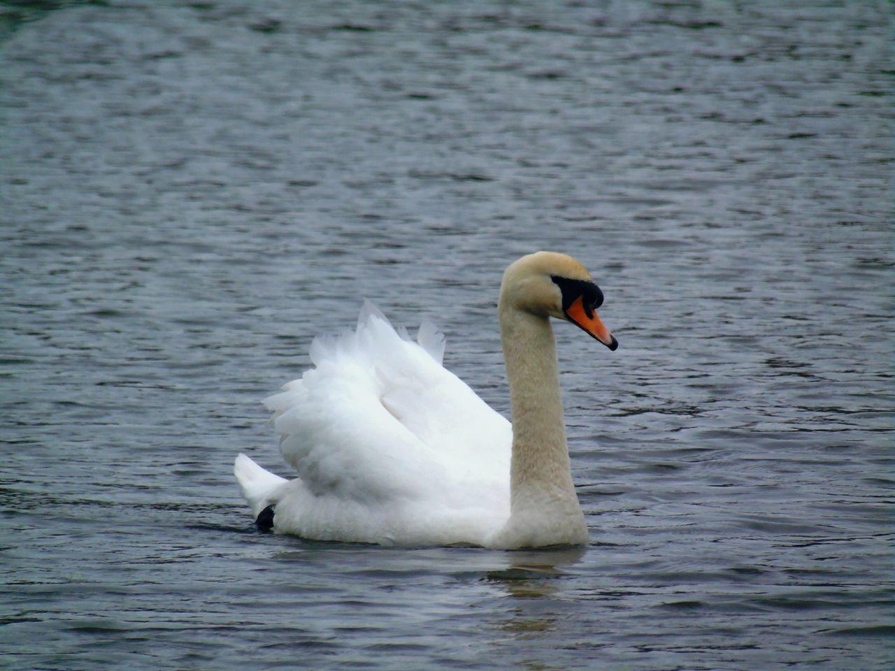swan, animals in the wild, animal themes, bird, one animal, lake, water bird, animal wildlife, white color, swimming, water, beak, no people, nature, day, outdoors, close-up