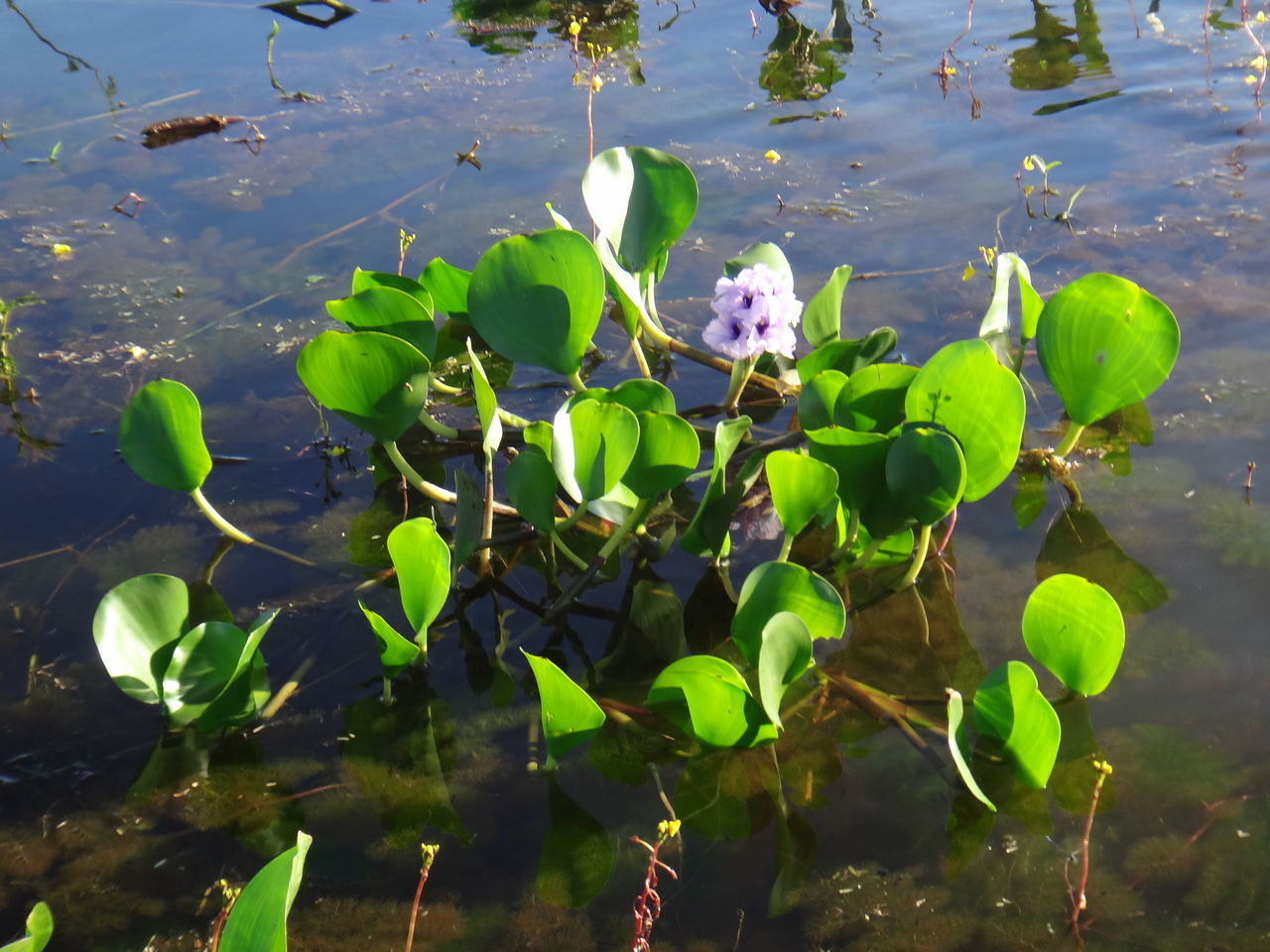 Beauty In Nature Close-up Day EICCR Floating On Water Flower Flower Head Fragility Freshness Green Color Growth High Angle View Lake Leaf Lily Pad Nature Nile Lily No People Outdoors Petal Plant Sunlight Water Water Hyacinth Water Lily