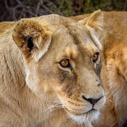 Moments In Southafrica Animals Africa Lion - Feline Lioness Animal Head  Animals In The Wild Animal Themes One Animal Day No People Mammal Portrait Close-up Outdoors