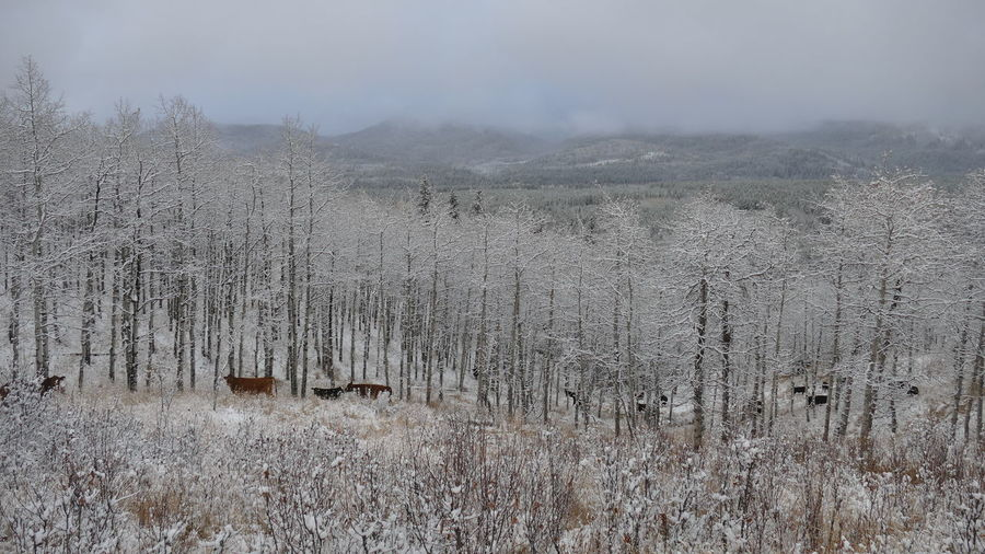 Winter range. Beauty In Nature Cattle Foothills Of The Rockies Landscape Low Cloud Monochromatic Nature No People Outdoors Rangeland Snow In Trees Tranquility Winter Range