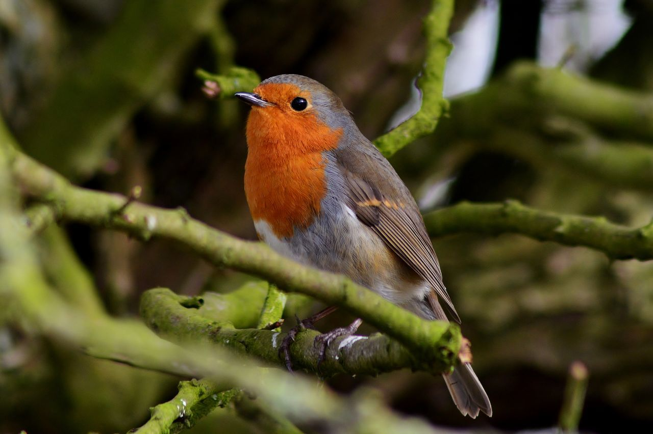 Animal Themes Animal Wildlife Animals In The Wild Beauty In Nature Bird Bird Photography Birdwatching Branch Check This Out Close-up Day Focus On Foreground Hello World My Photography Nature Nikon Nikon D3200 No People One Animal Outdoors Perching Robin Taking Photos Tree