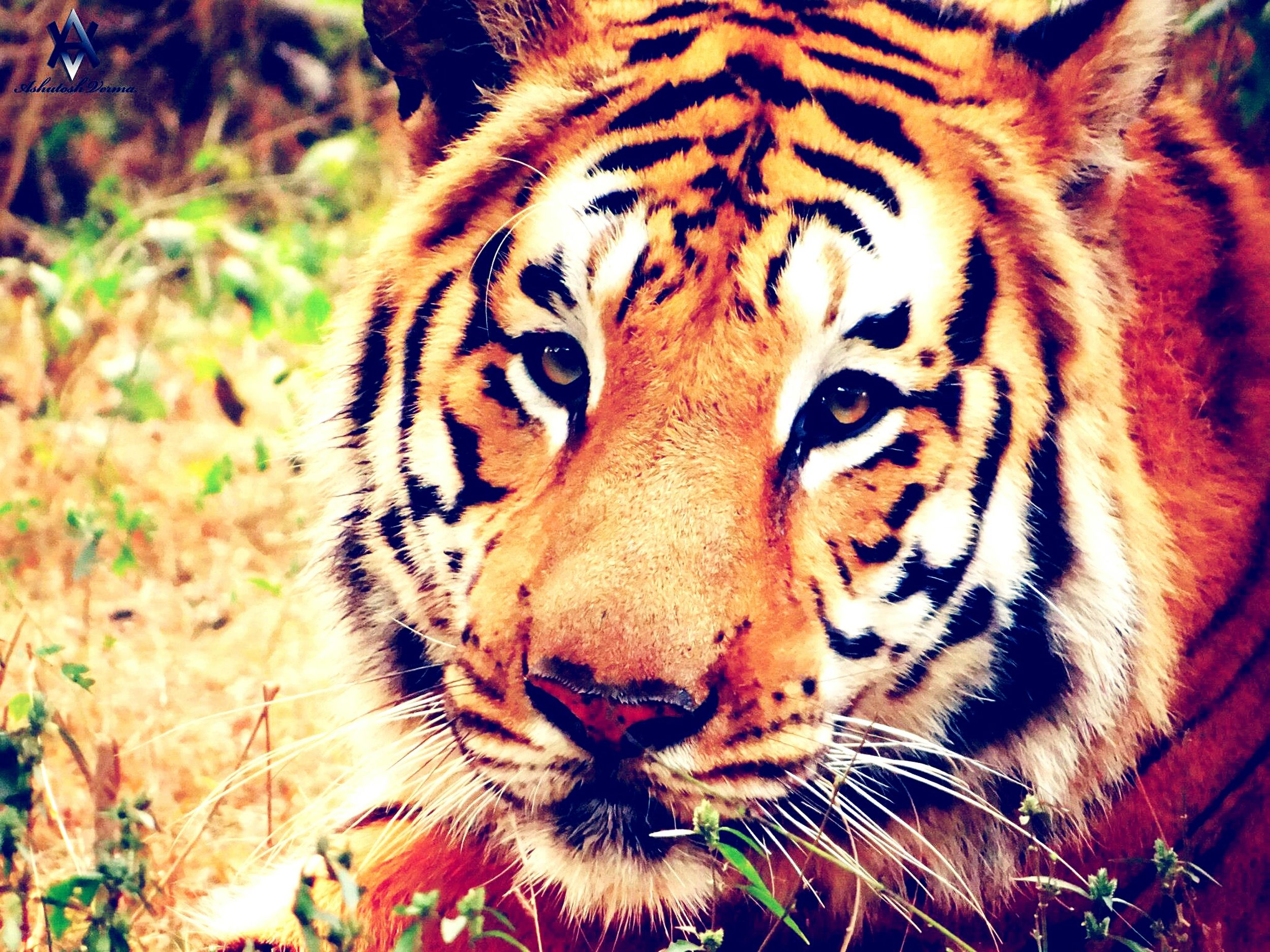 Indian Tiger Tiger Tiger-love Tigers❤ Tiger Face Ready To Kill  India ASIA Hello World Check This Out Taking Photos EyeEm Best Shots EyeEm Best Edits Eyeemphotography EyeEm Masterclass EyeEm Gallery Nature_perfection Animal Photography Animals Posing Animals In The Wild