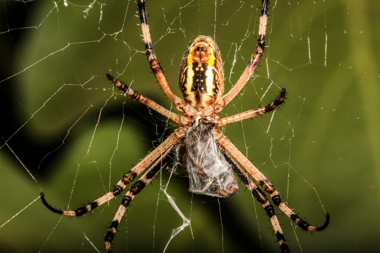 Beautiful stock photos of spider's, Animal Themes, Animals In The Wild, Arthropod, Beauty In Nature