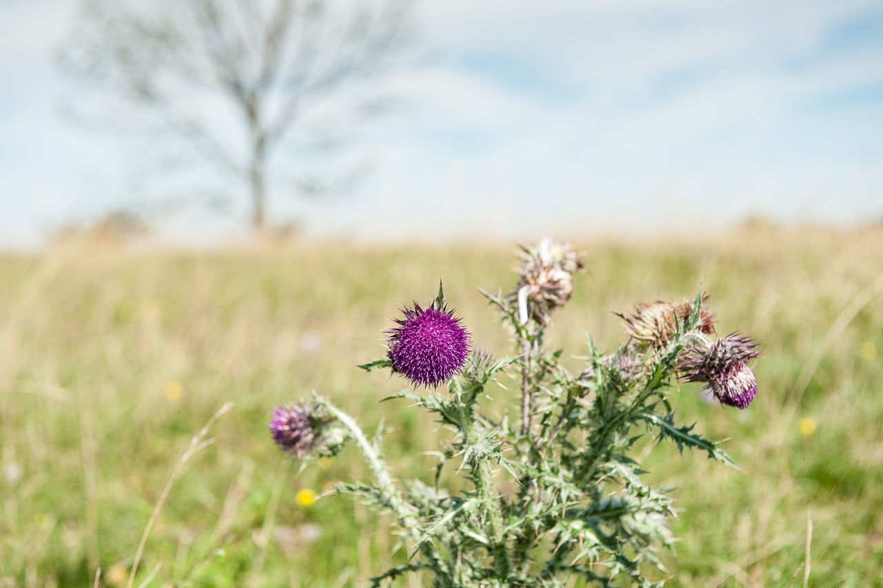 Beauty In Nature Blossom Close-up Day Flower Flower Head Focus On Foreground Fragility Freshness Growth Nature No People Outdoors Plant Sky Southern Germany Springtime Summerime Swabian Alb Thistle Thistles Wildflower