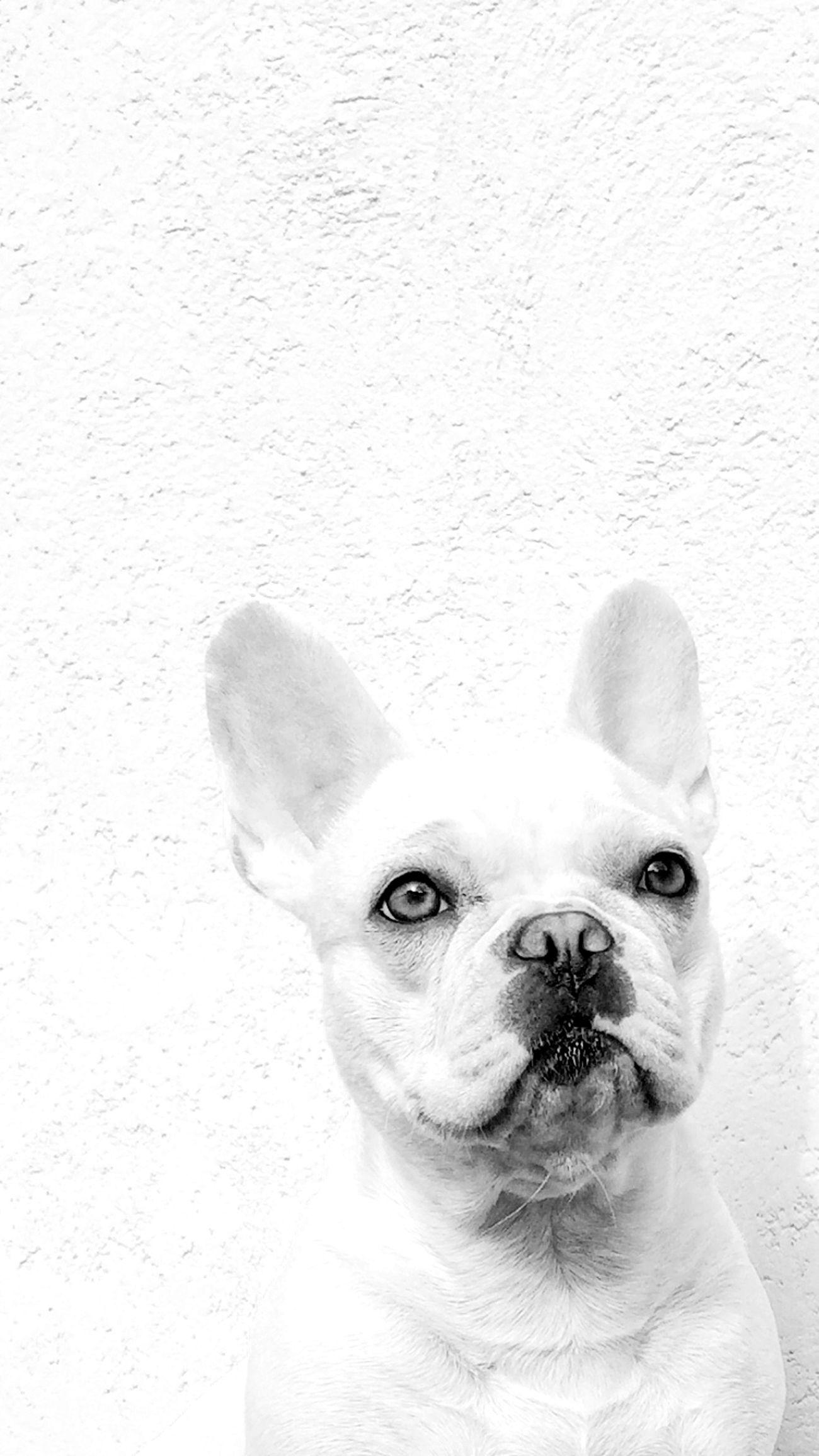 Chloe ❤ Pets Mydog Frenchbulldog Blackandwhite Takeyourtime