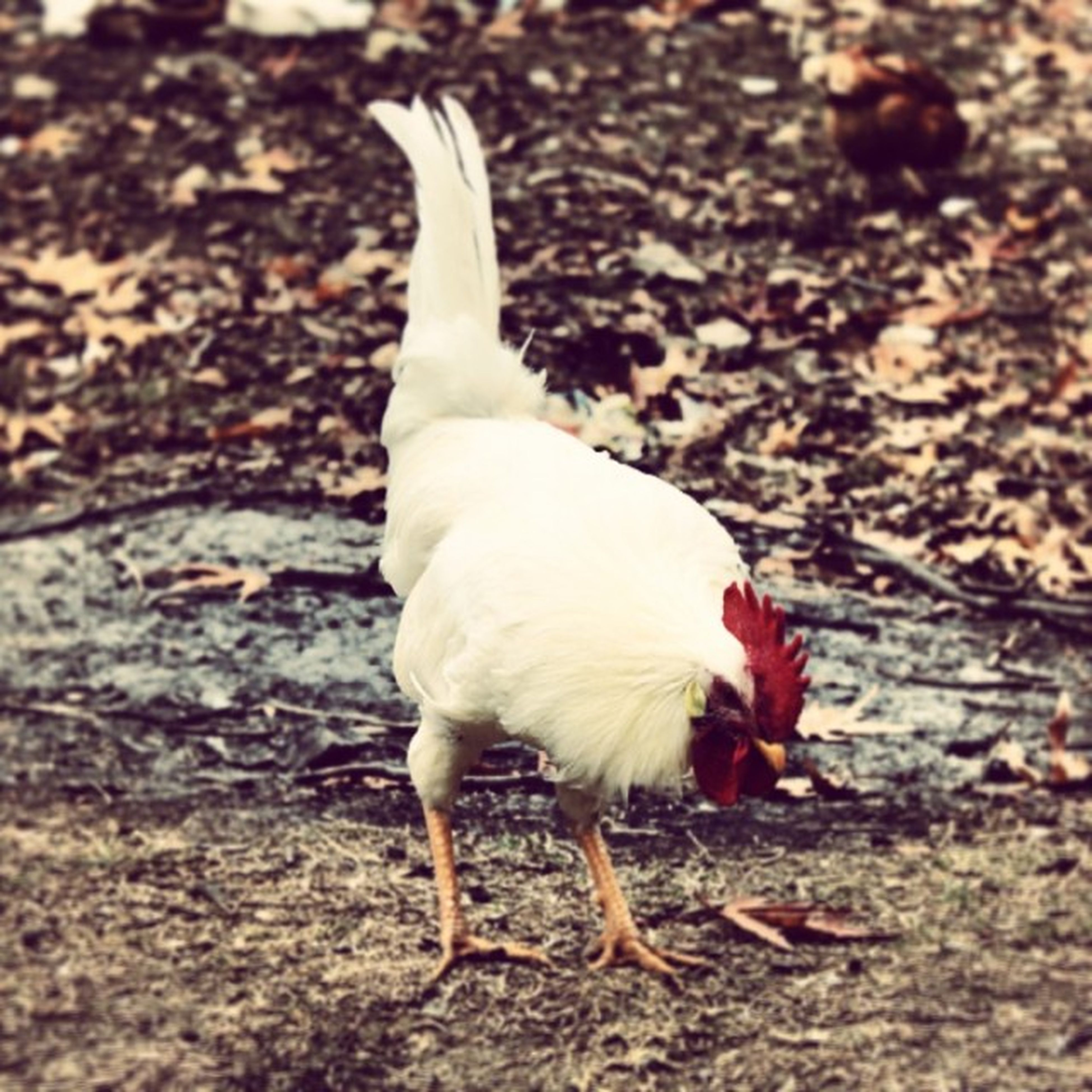 animal themes, one animal, bird, white color, domestic animals, full length, field, focus on foreground, nature, animals in the wild, wildlife, high angle view, close-up, outdoors, day, feather, no people, dog, standing, side view