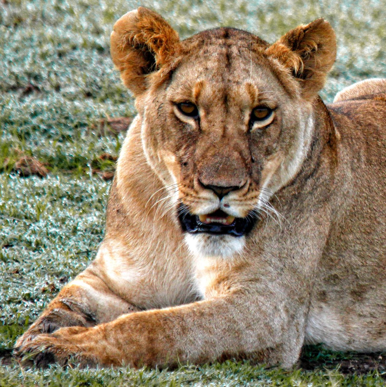 A resting Lioness after a sucessful hunt Full Lioness Lion Topofthefoodchain Kingofthejungle Bigcat Bigcatphotography Bigfive