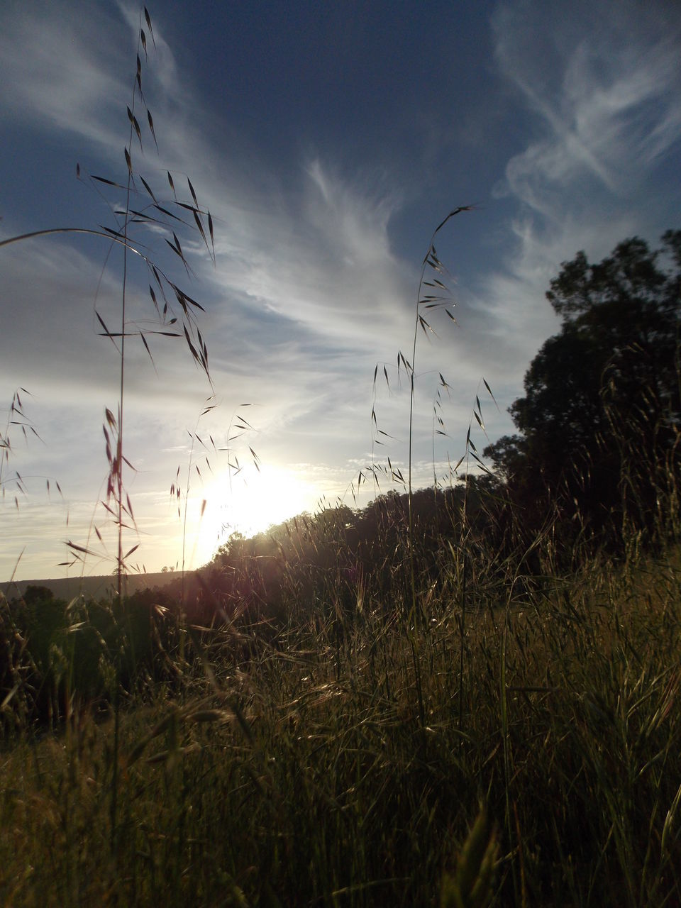 nature, grass, sunset, growth, tranquility, tranquil scene, field, beauty in nature, plant, sky, scenics, no people, landscape, outdoors, timothy grass, day