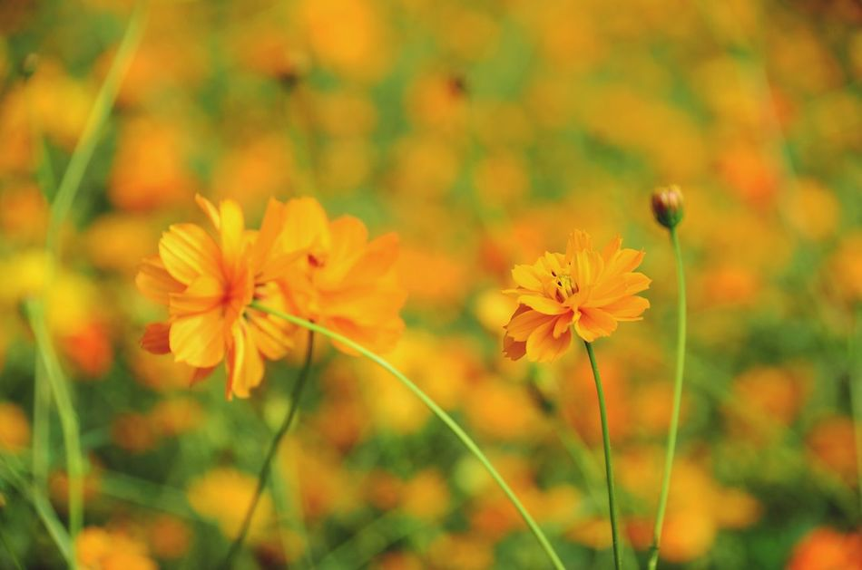 Orange Flower Orange Color Backgrounds Flower Close-up Nature Cosmos Flower Beauty In Nature Growth Plant