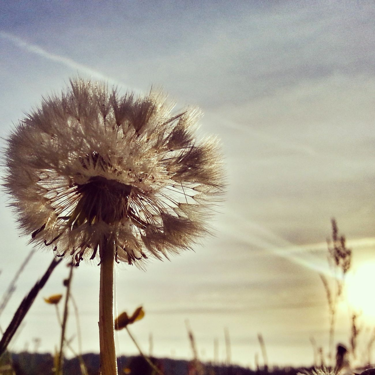 Sunbeam Dandelion Streamzoofamily Naturelover Enjoying Life Europe