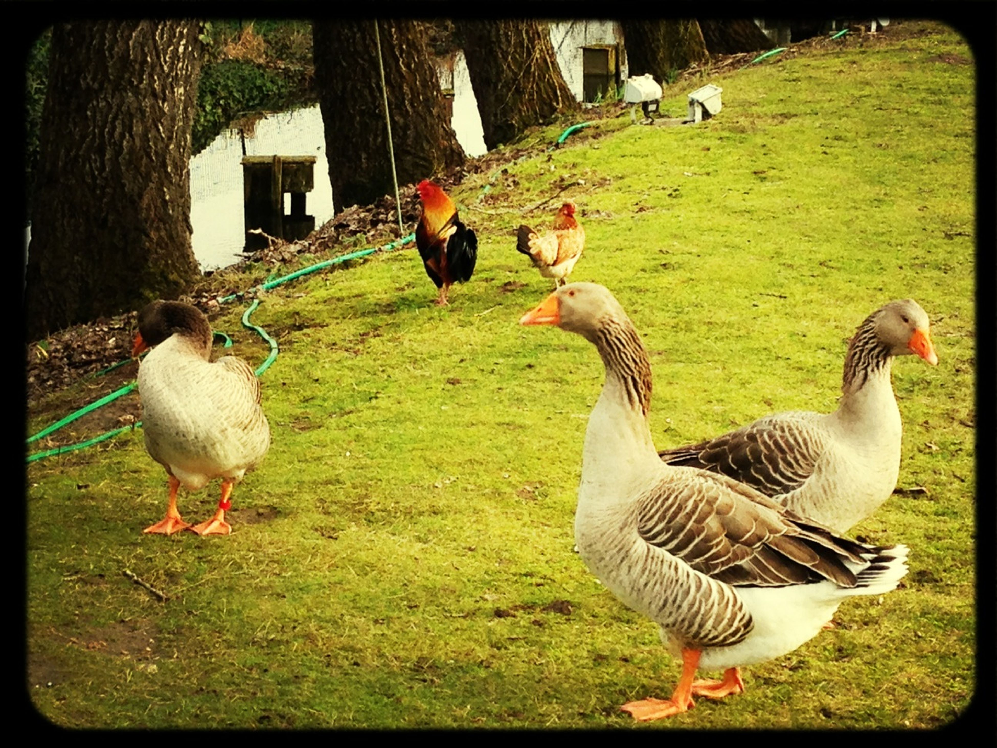 bird, animal themes, grass, animals in the wild, wildlife, transfer print, duck, field, two animals, auto post production filter, grassy, togetherness, green color, nature, three animals, goose, outdoors, sunlight, beak, day