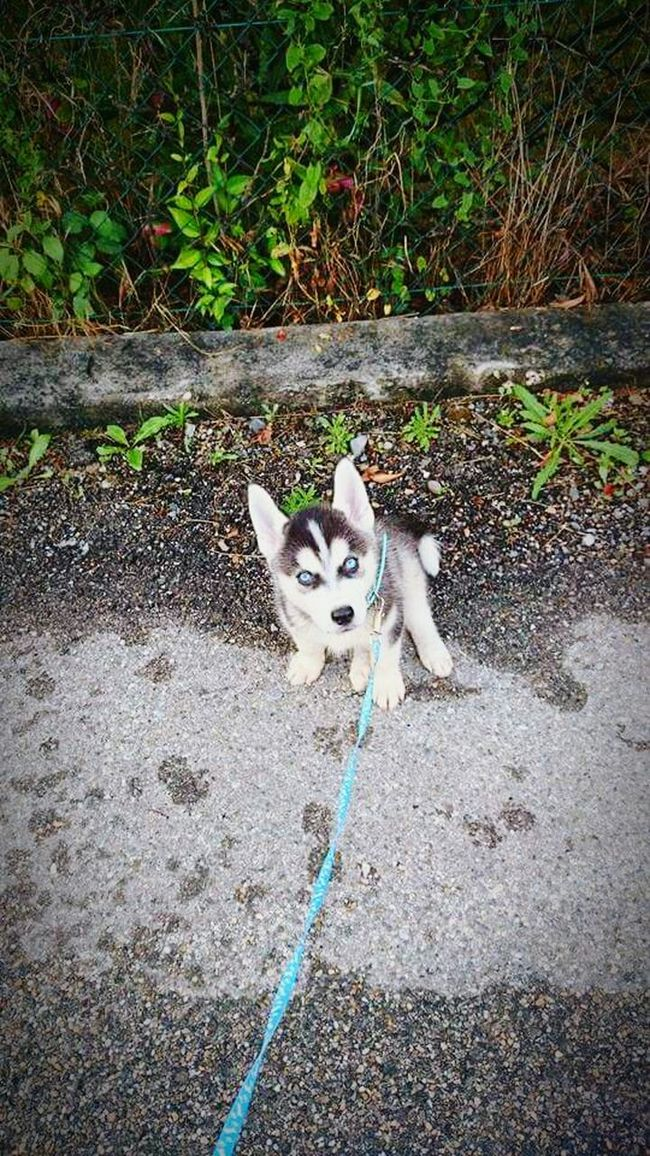 Pets Day Dog Puppy Eyeblue Husky Animal Outdoors Balade A Bird's Eye View