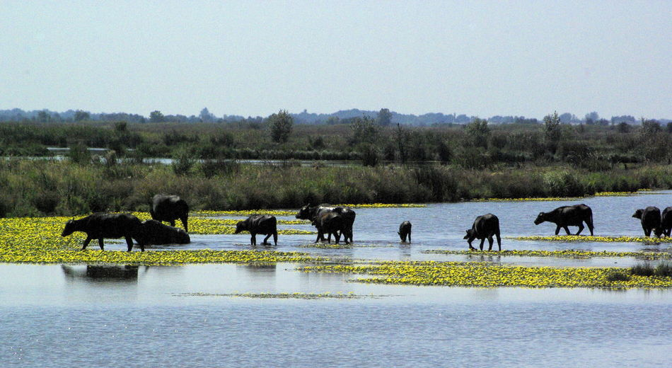 Beautiful stock photos of buffalo,  Animal Themes,  Beauty In Nature,  Clear Sky,  Day
