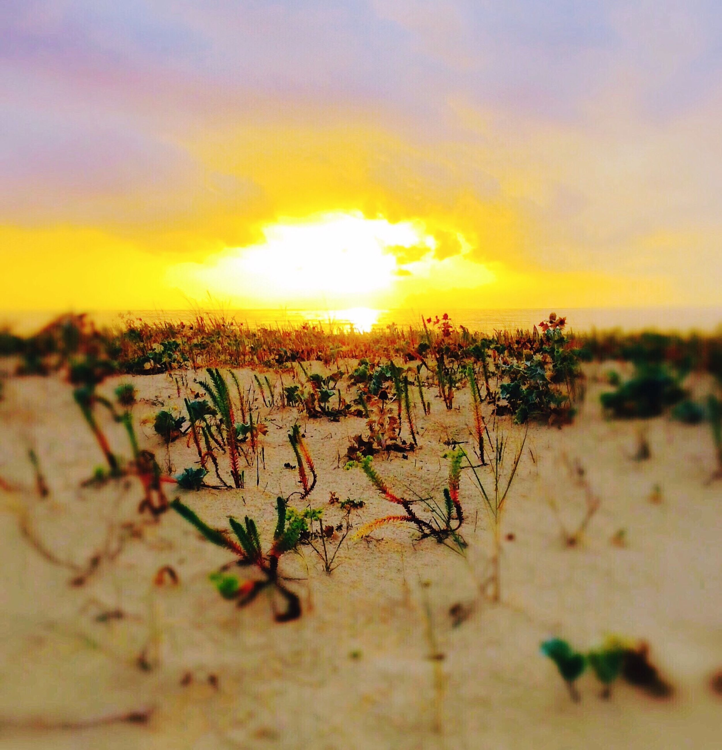 sunset, sky, tranquility, tranquil scene, nature, beauty in nature, orange color, scenics, landscape, plant, growth, cloud - sky, selective focus, field, focus on foreground, sand, outdoors, beach, idyllic, no people