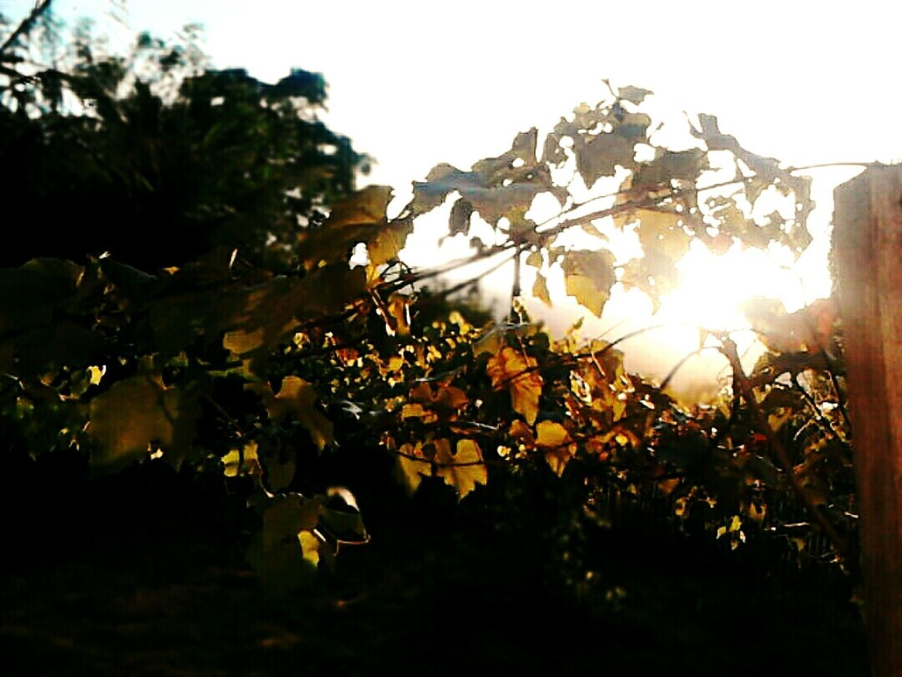 Uvas Manhã De Sol Parreiras Grama Sol Luz Do Sol Grape Sun Meu Mundo Sky Nature Natureza Sunlight Relaxing