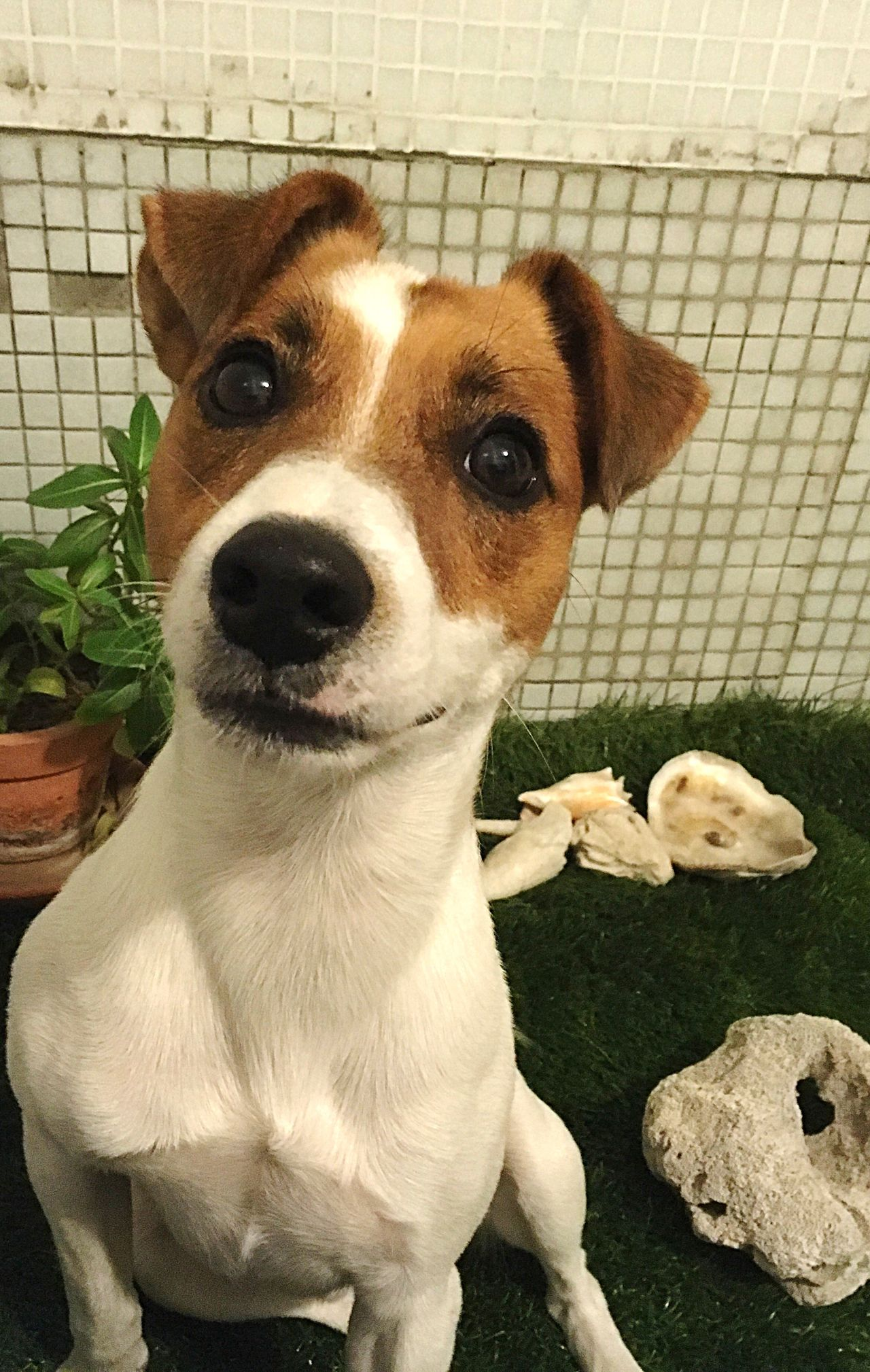 Dog Pets Looking At Camera Jackrussell EyeEmNewHere Domestic Animals Inconditional Love