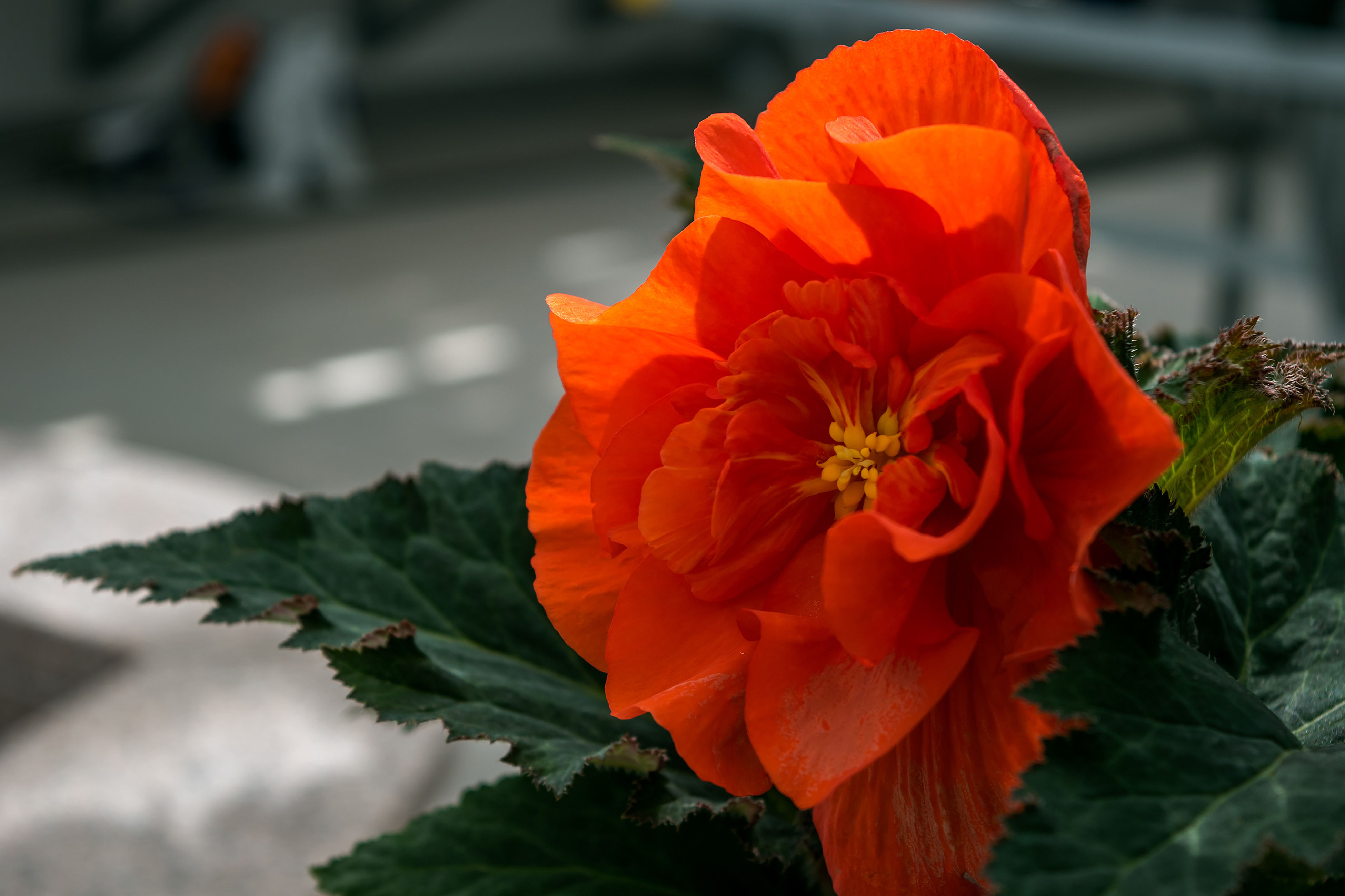 flower, freshness, close-up, petal, leaf, fragility, growth, orange color, flower head, focus on foreground, beauty in nature, nature, springtime, vibrant color, in bloom, single flower, day, outdoors, red, softness, growing, no people, blossom, green color