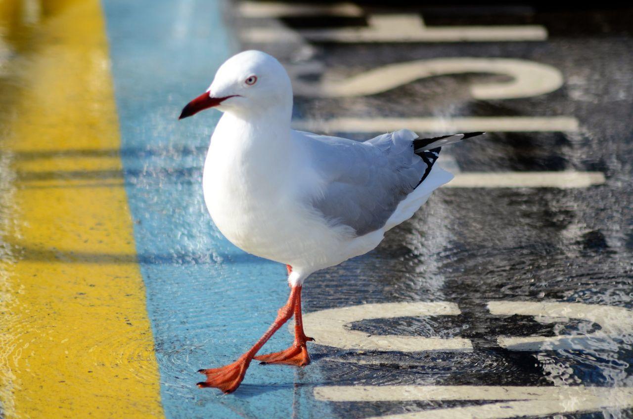 Seagull On Street
