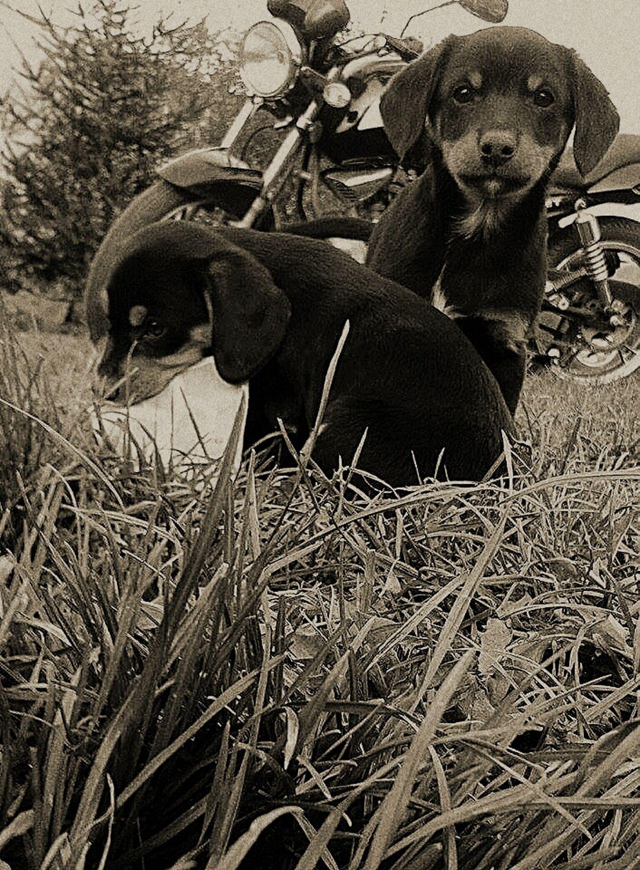 Dogs Dog Motor Psy Pies Motorcycles Motorcycle Gross Trawa Black And White Czarno-białe Czarny I Biały Czarny Biały Blackandwhite Black White Dog❤ Puppies Szczeniak