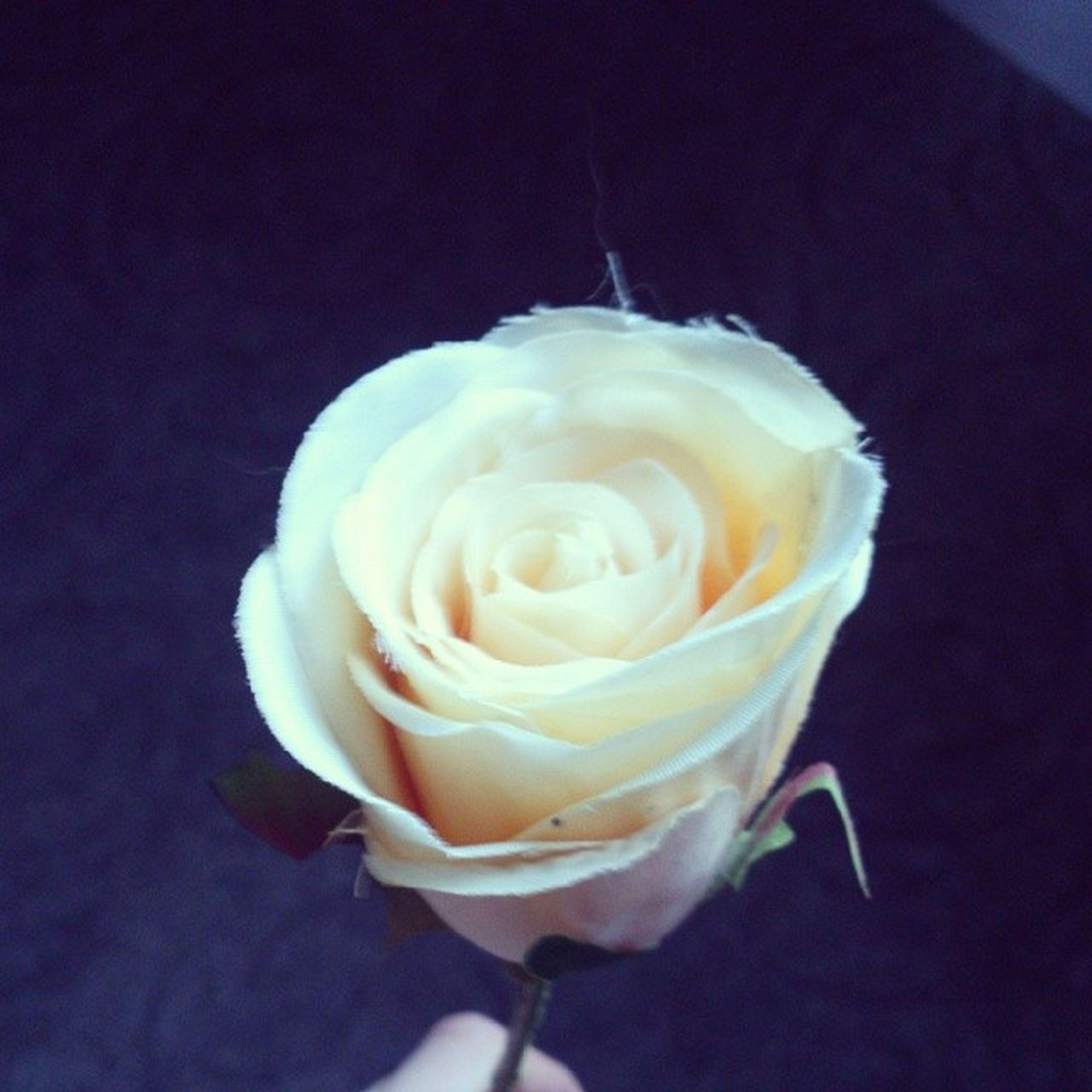 flower, rose - flower, petal, flower head, freshness, fragility, studio shot, rose, single flower, beauty in nature, close-up, white color, black background, nature, single rose, high angle view, indoors, white, no people, softness