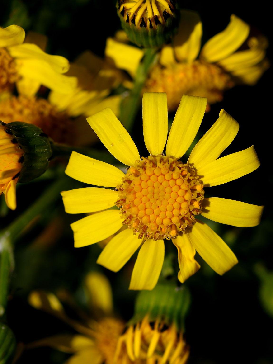 primavera Botany Flower Focus On Foreground Fragility Freshness Macro Petal Pollen Selective Focus Yellow 452