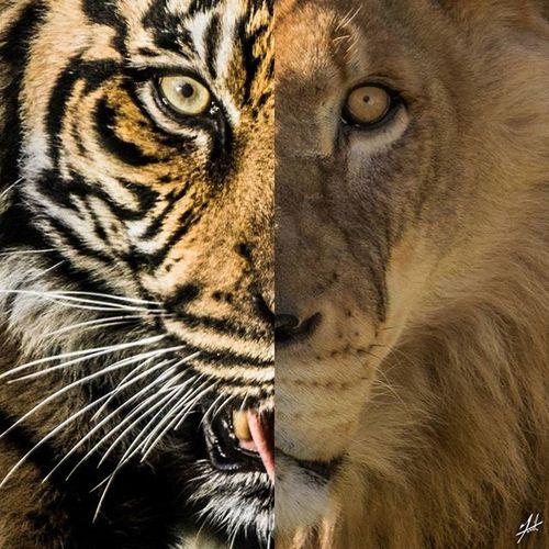 Toronto Lion WhiteLion Canada Torontophotos Torontophotography Thetorontozoo Metrotorontozoo TorontoZoo Torontophoto Cat Zoo Animal Eyeofthetiger Tiger Photooftheday Follow Instagood Instagram Roar Scar Wild Wildlife Wildlife ROMwpy @romtoronto