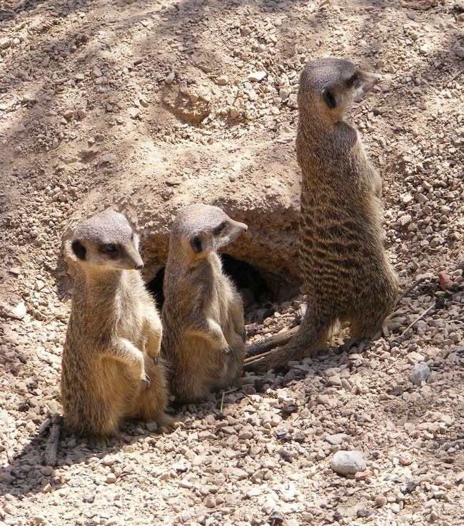 Animal Animal Head  Animal Themes Animals In The Wild Day Field Front View Full Length Herbivorous Mammal Meerkat Meerkats Nature Non-urban Scene Outdoors Relaxation Sand Sandy Sunlight Togetherness Two Animals Wildlife Zoo Zoology