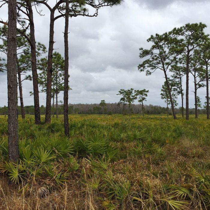 Palmetto, pines & cypress head. Florida Nature Florida Trail Three Lakes WMA Palmetto Pinetrees Pine Trees Pines Cypress Trees  Cypress Landscapes With WhiteWall