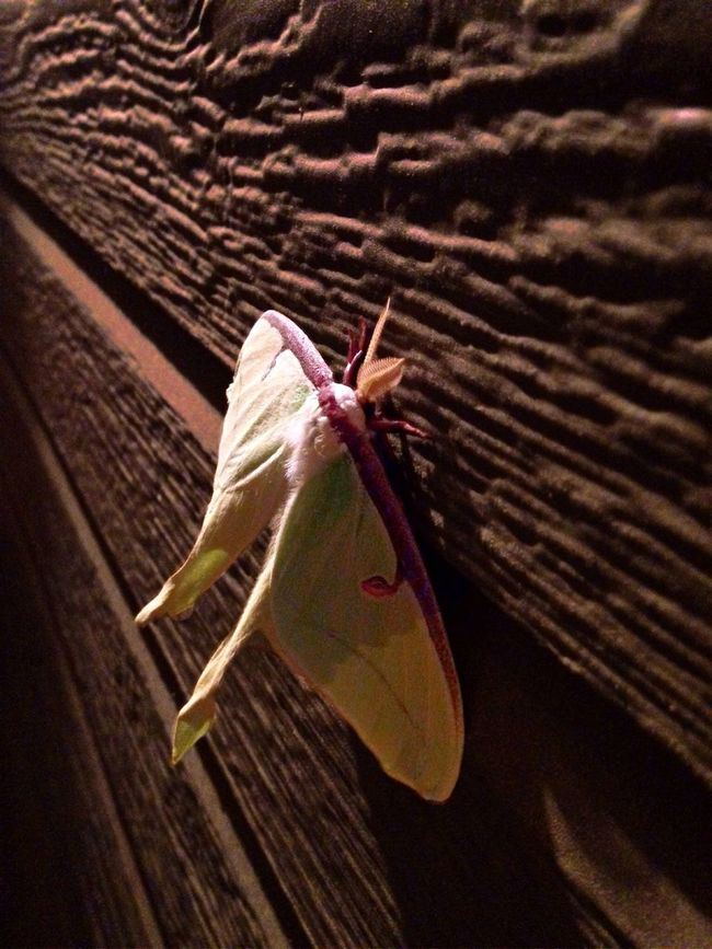 Lunar Moth EyeEm Nature Lover Nature On Your Doorstep Nature_collection