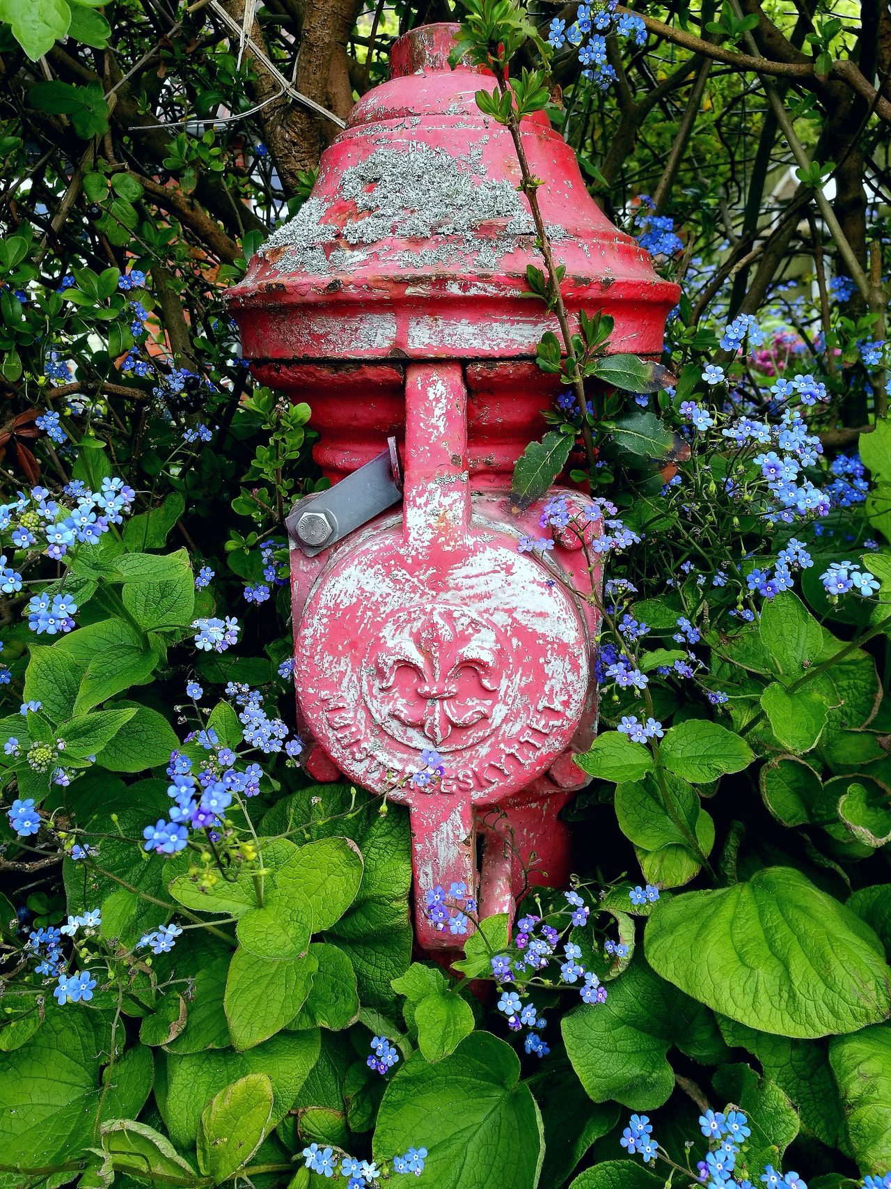 Firehydrant Overgrown With Forget Me Not Outdoors Day Low Angle View Leaf Green Color Blue