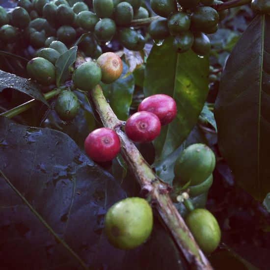 Coffee cherries Bali Coffee Plants Plant Nature Colors Coffee Plant Coffeelover Fruit Food And Drink Growth Food Nature Freshness No People Agriculture Plant Red Beauty In Nature